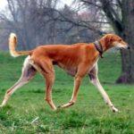 Saluki este cea mai veche rasă de câini.