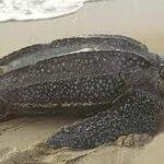 Cea mai grea broască țestoasă din lume este broasca pieloasă Luthul.