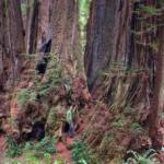 """Cel mai bătrân arbore recunoscut este denumit Eternal God – """"Zeul Etern""""."""