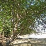 Cel mai periculos copac este Machineel-ul de pe coasta Caraibelor şi Florida Everglade.