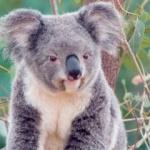 Ursul Koala are unul din cele mai mici creiere în raport cu greutatea corporală a oricărui mamifer.