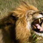 Răgetul unui leu adult poate fi auzit de la o distanţă de 10 kilometri.