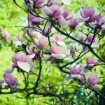 Magnolia este una dintre cele mai vechi plante cu flori de pe planetă.