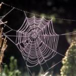 Păianjenul orb, care trăieşte în Asia de sud-est, ţese cele mai mari pânze.