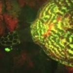 O specie de broască ţestoasă biofluorescentă a fost descoperită de biologi.