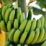 Bananele sunt pe cale de dispariţie.