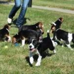 Primii câini concepuţi în eprubetă au fost aduşi pe lume prin fertilizare in vitro.