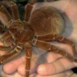 Cel mai mare păianjen din lume este cât un căţeluş.