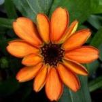 Prima floare cultivată în spaţiu a înflorit la bordul Staţiei Spaţiale Internaţionale.