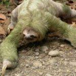 Dintre toate mamiferele, leneșul este cel mai lent.