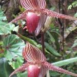 Un fir de orhidee poate costa până la 5.000 de euro.