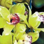 O orhidee a fost vândută la licitație cu 200.000 de dolari.