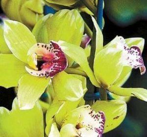 orhideea shentzen