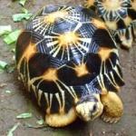 Broasca ţestoasă din specia Testudo Radiata trăieşte peste 200 ani.