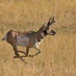 Antilopa săritoare poate să facă salturi înalte de până la 4 metri.