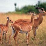 În lumea animalelor, recordul la sărituri este deținut de antilopa cu labe negre.