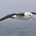 Albatrosul este singura pasăre care poate zbura și dormi în același timp.