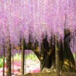 Cel mai mare salcâm japonez din lume are 146 de ani.