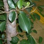 Ficusul se numără printre plantele toxice.