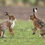 Terenuri agricole distruse de iepurii sălbatici