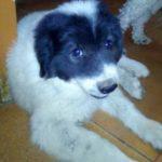 Vând câine ciobănesc de Bucovina