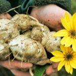 Primul soi de topinambur românesc, planta viitorului, va intra în producția de masă