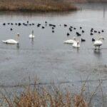 Intervenţie pentru salvarea unor lebede aflate pe un lac