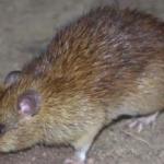 Șobolan mort găsit pe coridorul unei școli