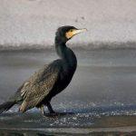 Gripă aviară confirmată la o pasăre sălbatică găsită pe malul Mureşului
