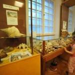 Exponatul lunii iunie la Complexul Muzeal Arad: Cochilia Melcului Marin Lobatus Gigas