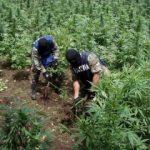 UPDATE Doi polițiști din Arad aveau o plantație de cannabis