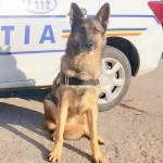 Pebaf, câinele polițist care găsește țigările de contrabandă