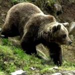 Anchetă. Un urs a fos împuşcat într-o pădure din Gurahonț