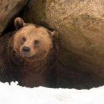 Ziua Ursului – tradiții, obiceiuri și superstiții