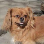 Pechinezul, cea mai răspândită rasă de câini din România