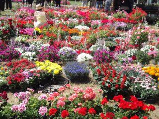 """""""FlorAr"""". Târg de flori organizat în centrul Aradului"""