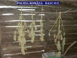 Cultură de cannabis, descoperită de polițiști. Un arădean a fost arestat