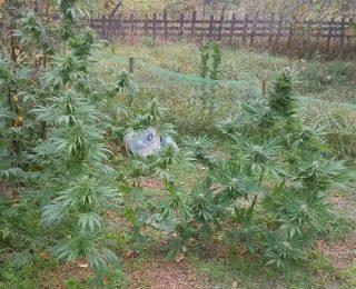 Cannabis cultivat pe malul Mureșului. Trei arădeni au fost arestați