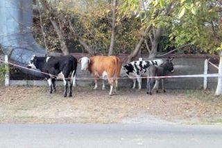 Trei vaci și un măgar, la plimbare prin centrul Aradului