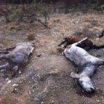 Cadavre de cai, găsite pe un câmp din Arad