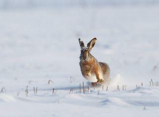 Acțiune vânătorească la Pecica. Peste 200 de iepuri sălbatici prinși