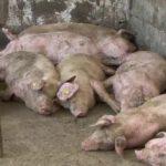 Porci transportaţi ilegal dintr-o comună cu pestă, ucişi preventiv de autorităţi