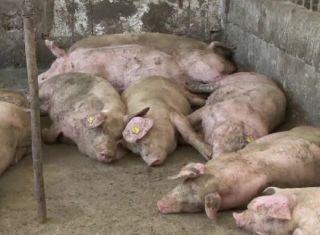 Autorităţile au închis oficial singurul focar de pestă porcină africană din judeţul Arad