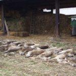 Ferme amendate, după ce au fost găsite mai multe animale moarte pe câmp