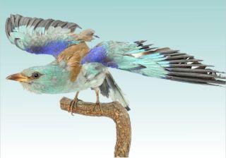 Un exemplar naturalizat al păsării Dumbrăveanca – exponatul lunii martie la Muzeu
