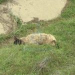 Zeci de oi, găsite moarte. Proprietarul reclamă atacul unor câini fără stăpâni
