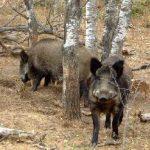 Pestă porcină la Sânpetru German. Toţi mistreţii din zonă vor fi împuşcaţi