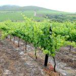 Viticultorii reclamă pierderi la producția de struguri, provocate de mistreţi