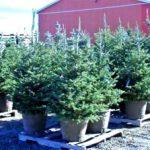 Apelul unui primar: Cumpărați brazi de Crăciun în ghivece, pentru a-i planta în cimitir!