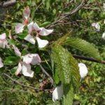 Mai multe specii de pomi fructiferi au înflorit a doua oară în acest an